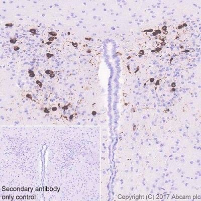 Immunohistochemistry (Formalin/PFA-fixed paraffin-embedded sections) - Anti-Oxytocin antibody [EPR20973] (ab212193)