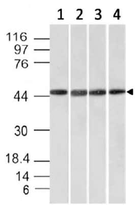 Western blot - Anti-Emi1 antibody [EMI1/1176] - BSA and Azide free (ab212397)
