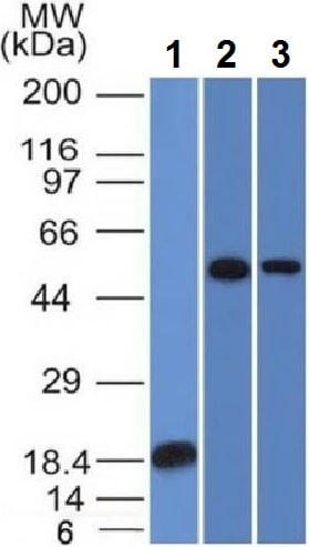 Western blot - Anti-TOX3 antibody [TOX3/1124] - BSA and Azide free (ab212415)