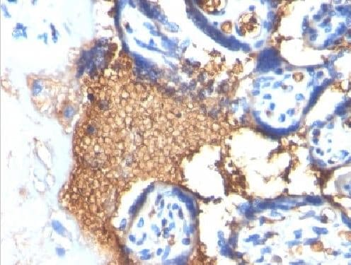 Immunohistochemistry (Formalin/PFA-fixed paraffin-embedded sections) - Anti-Glycophorin A antibody [Clone GYPA/280] - BSA and Azide free (ab212432)