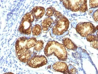 Immunohistochemistry (Formalin/PFA-fixed paraffin-embedded sections) - Anti-Gastric Mucin/MUC-6 antibody [CLH5] - BSA and Azide free (ab212646)