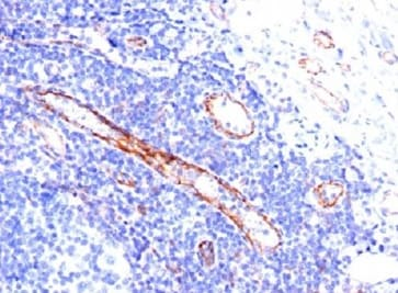 Immunohistochemistry (Formalin/PFA-fixed paraffin-embedded sections) - Anti-CD31 antibody [C31.3] - BSA and Azide free (ab212709)