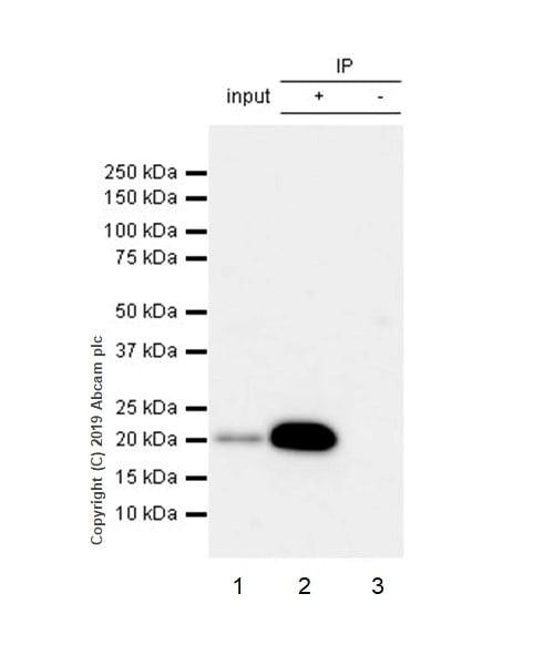 Immunoprecipitation - Anti-Bax antibody [2D2] - BSA and Azide free (ab212790)