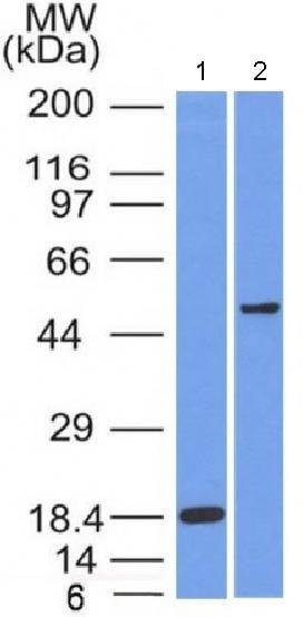 Western blot - Anti-SOX10 antibody [SOX10/991] - BSA and Azide free (ab212843)