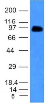 Western blot - Anti-CD43 antibody [SPN/839] - BSA and Azide free (ab212850)