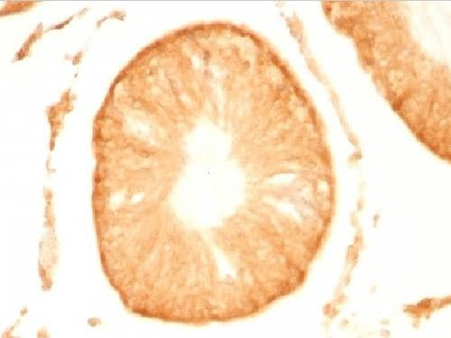 Immunohistochemistry (Formalin/PFA-fixed paraffin-embedded sections) - Anti-PGP9.5 antibody (ab212934)