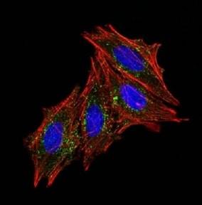 Immunocytochemistry/ Immunofluorescence - Anti-CD63 antibody [MX-49.129.5] - BSA and Azide free (ab213092)