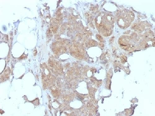 Immunohistochemistry (Formalin/PFA-fixed paraffin-embedded sections) - Anti-MVP antibody [1032] - BSA and Azide free (ab213122)