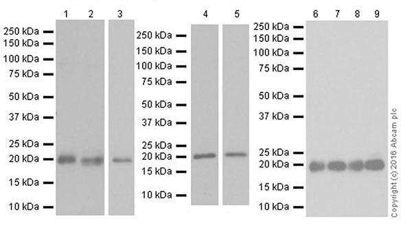 Western blot - Anti-HP1 gamma/CBX3 antibody [EPR19803] (ab213167)