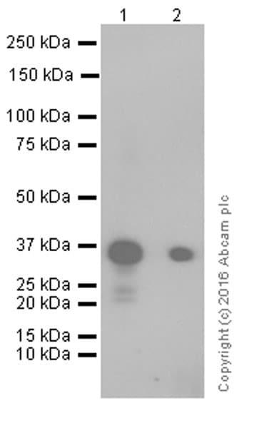 Western blot - Anti-Mesothelin antibody [EPR17823-69] (ab213174)