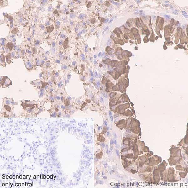 Immunohistochemistry (Formalin/PFA-fixed paraffin-embedded sections) - Anti-Uteroglobin antibody [EPR19846] (ab213203)