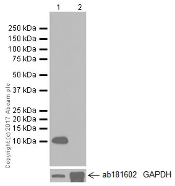 Western blot - Anti-Uteroglobin antibody [EPR19846] (ab213203)