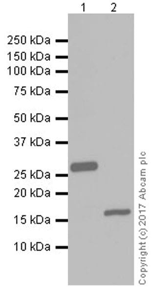 Western blot - Anti-6X His tag® antibody [EPR20547] - ChIP Grade (ab213204)