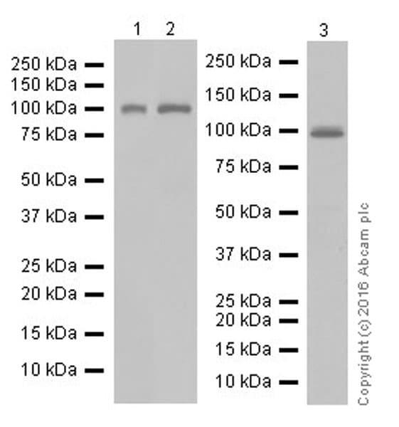 Western blot - Anti-UHRF1 antibody [EPR18803-11] (ab213223)