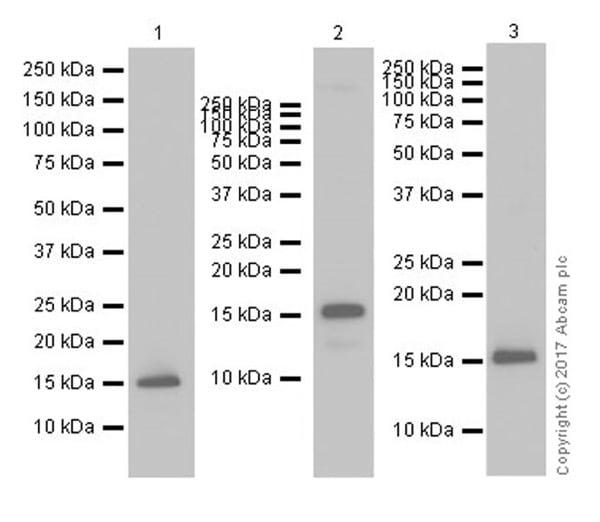 Western blot - Anti-Histone H3 (tri methyl K4) antibody [EPR20551-225] - ChIP Grade (ab213224)