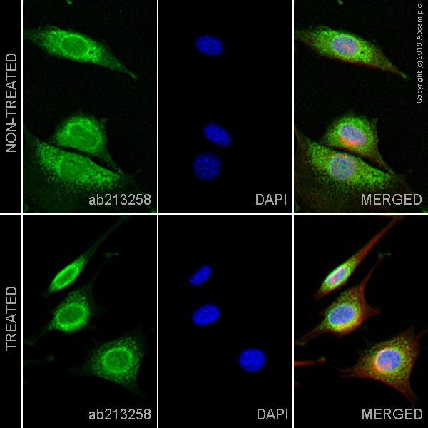 Immunocytochemistry/ Immunofluorescence - Anti-GRP78 BiP antibody [EPR21226] (ab213258)