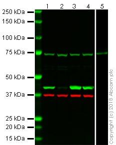 Western blot - Anti-beta Actin antibody [EPR21241] (ab213262)