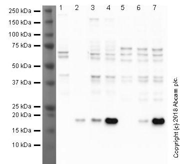Western blot - Anti-Histone H3 (acetyl K9) antibody [EPR21217] (ab213280)
