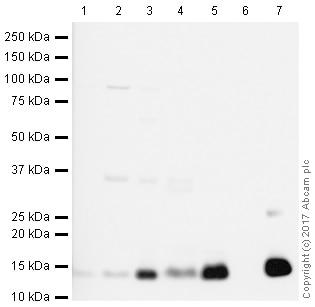 Western blot - Anti-Histone H4 antibody [IGX4696H] - ChIP Grade (ab213291)