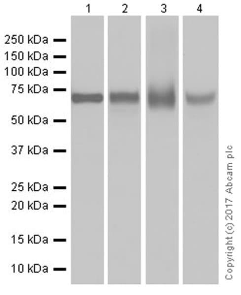 Western blot - Anti-alpha 1 Fetoprotein antibody [EPR20667] (ab213328)