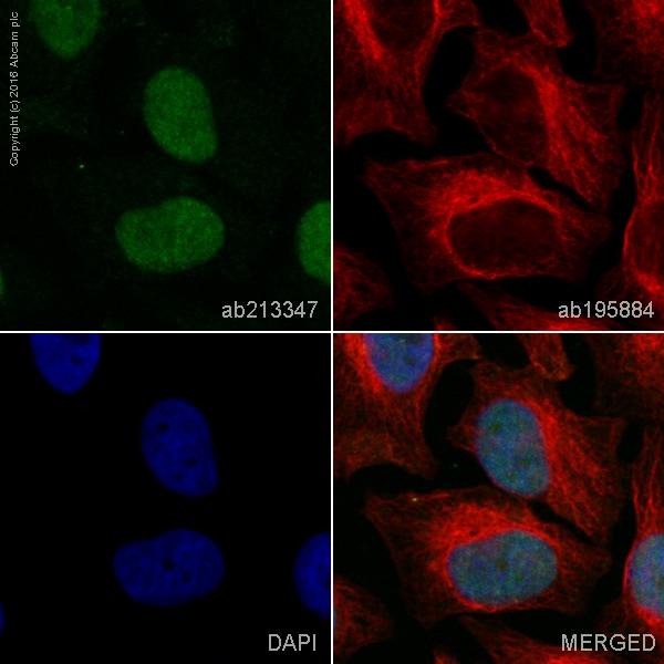 Immunocytochemistry/ Immunofluorescence - Anti-BRD2 antibody [EPR7642] (Alexa Fluor® 555) (ab213347)