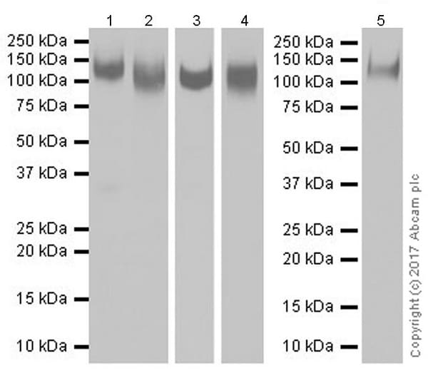 Western blot - Anti-CD68 antibody [EPR20545] (ab213363)