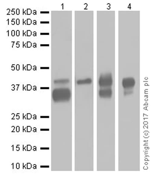 Western blot - Anti-EpCAM antibody [EPR20532-222] (ab213500)