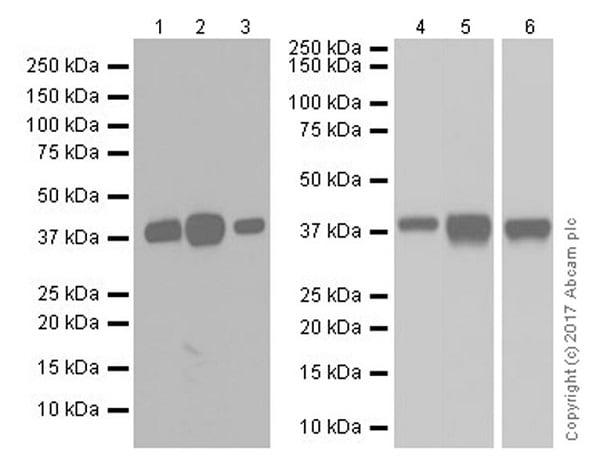 Western blot - Anti-EpCAM antibody [EPR20533-266] (ab213501)