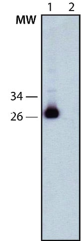 Western blot - Anti-DDDDK tag (Binds to FLAG® tag sequence) antibody [6F7] (ab213519)