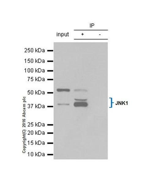 Immunoprecipitation - Anti-JNK1 antibody [EPR18841-99] (ab213521)