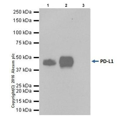 Immunoprecipitation - Anti-PD-L1 antibody [EPR19759] (ab213524)