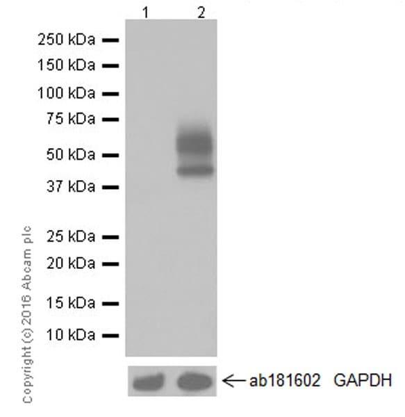Western blot - Anti-PD-L1 antibody [EPR19759] (ab213524)