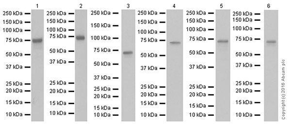 Western blot - Anti-FUBP1/FBP antibody [EPR19208] (ab213525)