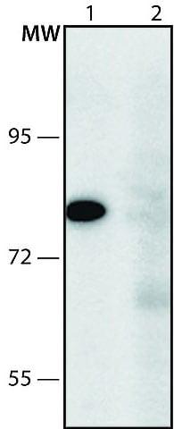 Western blot - Anti-KIAA1161 antibody - N-terminal (ab213532)