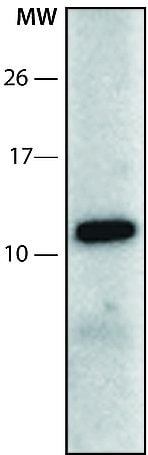 Western blot - Anti-SRP9 antibody - N-terminal (ab213550)
