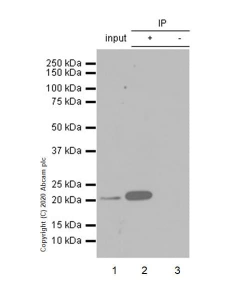 Immunoprecipitation - Anti-CD3 epsilon antibody [EP449E] - Low endotoxin, Azide free (ab213608)