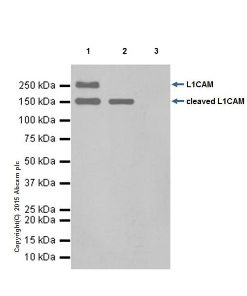 Immunoprecipitation - Anti-L1CAM antibody [EPR18750] - Low endotoxin, Azide free (ab213611)
