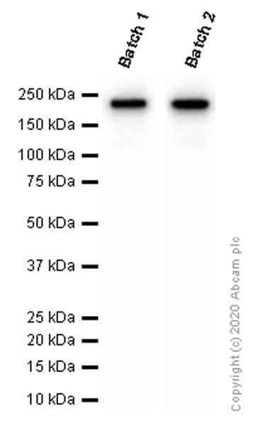 Western blot - Anti-CD163 antibody [EPR19518] - BSA and Azide free (ab213612)