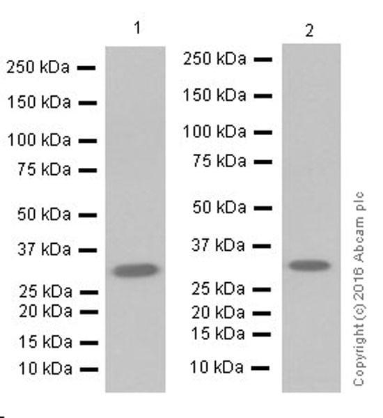 Western blot - Anti-Annexin A10/ANXA10 antibody [EPR19507] (ab213656)
