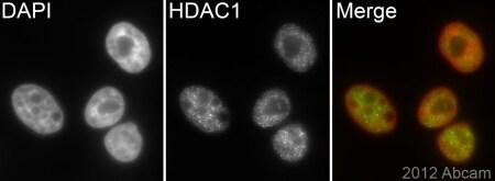 Immunocytochemistry/ Immunofluorescence - Anti-HDAC1 antibody [EPR460(2)] - BSA and Azide free (ab213701)