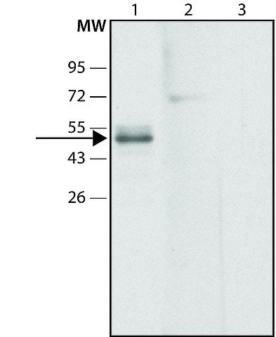 Western blot - Anti-GPCR GPR39 antibody (ab213716)
