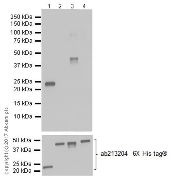 Western blot - Anti-MAGE3 antibody [EPR20658] (ab213722)