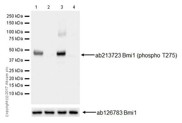 Western blot - Anti-Bmi1 (phospho T275) antibody [EPR19848] (ab213723)