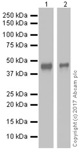 Western blot - Anti-NeuroD1 antibody [EPR20766] (ab213725)