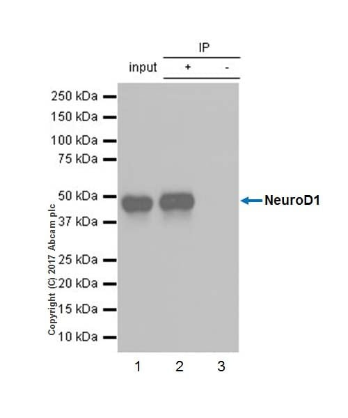 Immunoprecipitation - Anti-NeuroD1 antibody [EPR20766] (ab213725)