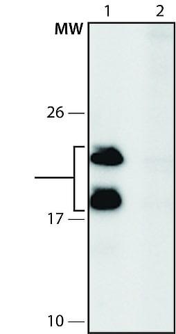Western blot - Anti-IMUP antibody (ab213949)