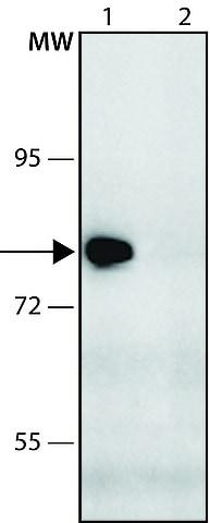Western blot - Anti-KIAA1434 antibody (ab213954)