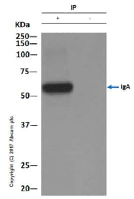 Immunoprecipitation - Anti-IgA antibody [EPR5367-76] - BSA and Azide free (ab214003)