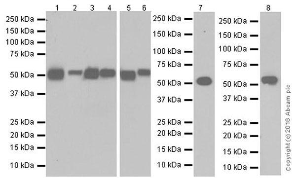 Western blot - Anti-LPCAT1 antibody [EPR19882] (ab214034)