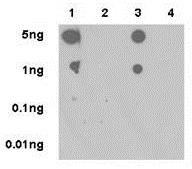 Dot Blot - Anti-ERK1 (phospho T202) + ERK2 (phospho T185) antibody [EPR18444] (ab214036)